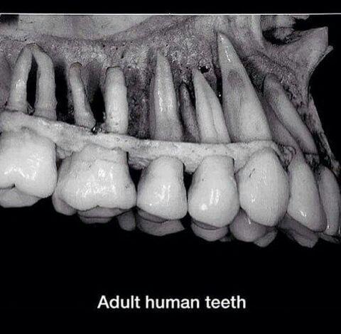 Adult Human Teeth 2
