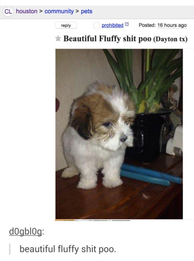 Craigslist Shih Tzu Puppies