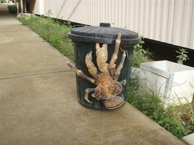 Cute_98261b_6039839 cute coconut crab's