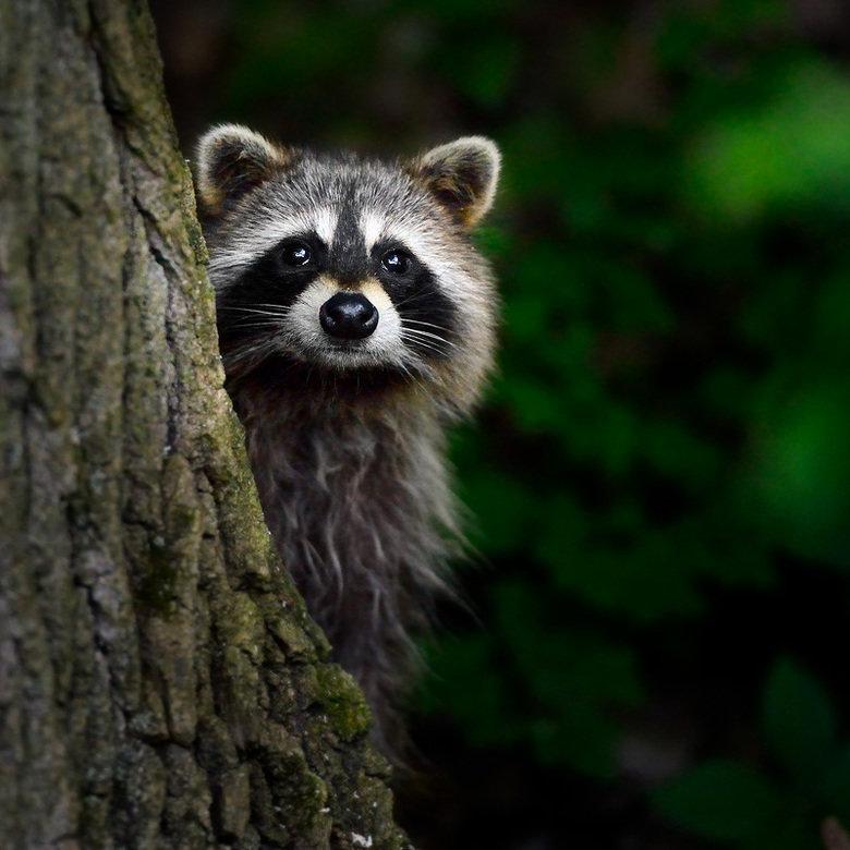 Raccoon Comp